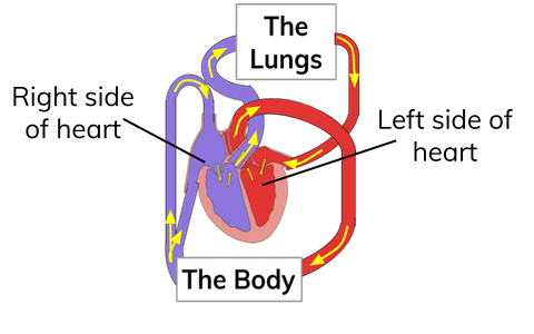 Double Circulatory System for Biology GCSE Revision